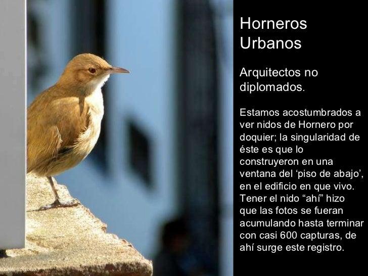 Horneros Urbanos Arquitectos no diplomados . Estamos acostumbrados a ver nidos de Hornero por doquier; la singularidad de ...