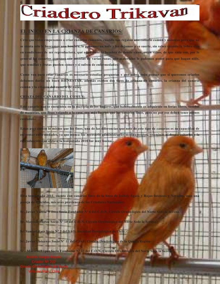 El inico en la cria de canarios