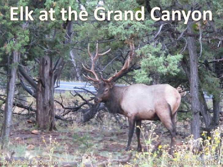 Elk at the Grand Canyon<br />Dr. Ronald G. Shapiro<br />September 13, 2011<br />