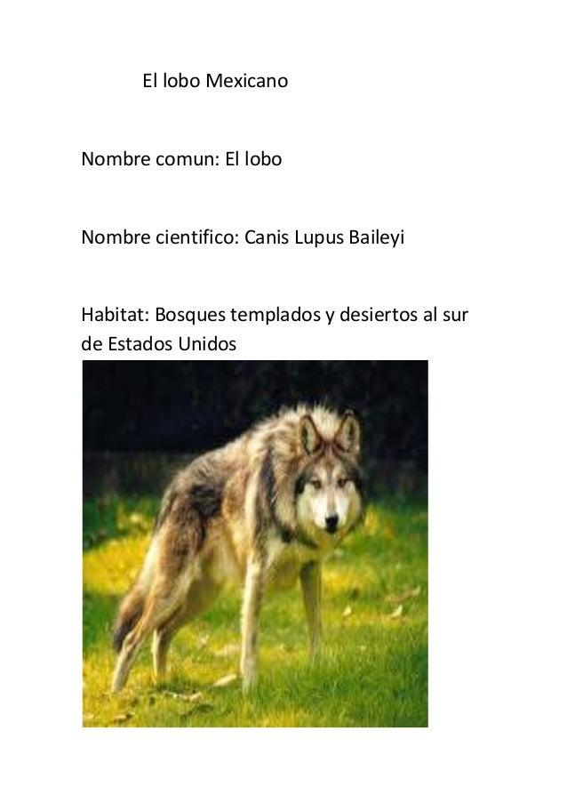 El lobo MexicanoNombre comun: El loboNombre cientifico: Canis Lupus BaileyiHabitat: Bosques templados y desiertos al surde...