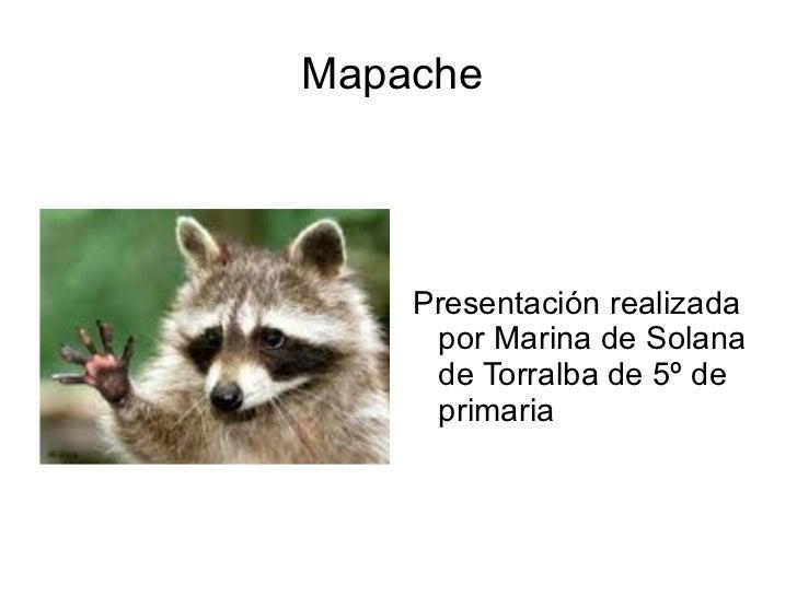 Mapache  <ul><li>Presentación realizada por Marina de Solana de Torralba de 5º de primaria </li></ul>