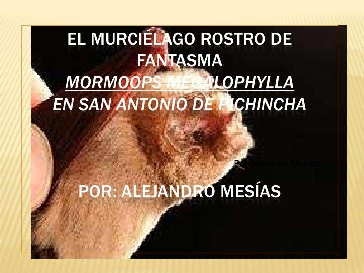 EL MURCIÉLAGO ROSTRO DE         FANTASMA MORMOOPS MEGALOPHYLLAEN SAN ANTONIO DE PICHINCHA                   Por Alejandro ...