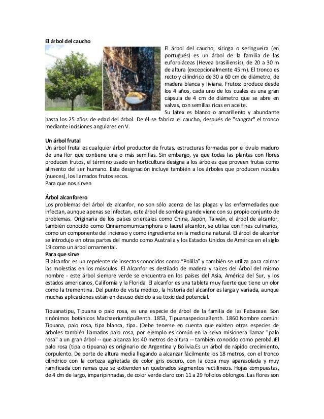 El árbol del caucho El árbol del caucho, siringa o seringueira (en portugués) es un árbol de la familia de las euforbiácea...
