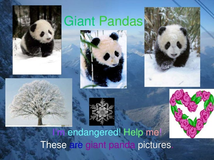 Giant Pandas  I'm endangered! Help me!These are giant panda pictures.
