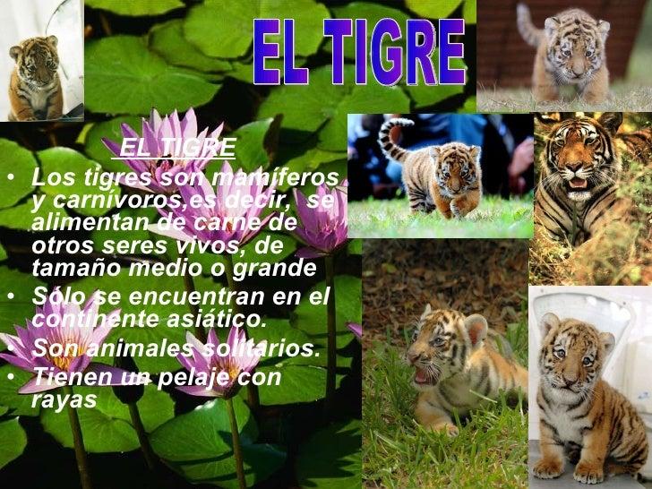 <ul><li>EL TIGRE </li></ul><ul><li>Los tigres son mamíferos y carnívoros,es decir,  se alimentan de carne de otros seres v...