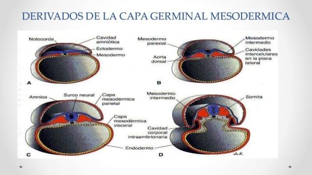 DERIVADOS DE LA CAPA GERMINAL MESODERMICA