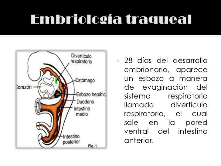   28 días del desarrollo    embrionario, aparece    un esbozo a manera    de evaginación del    sistema      respiratori...