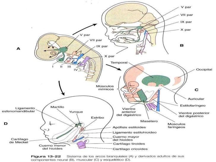 Embriologia y desarrollo craneo facial for Cuarto par craneal