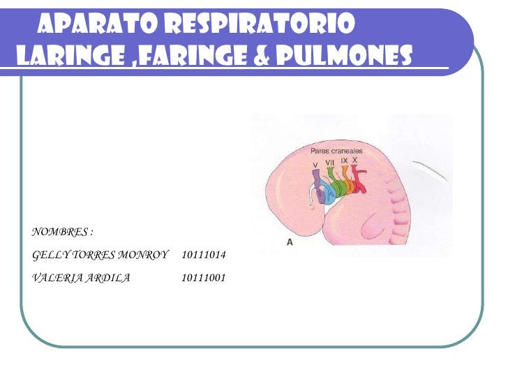 APARATO RESPIRATORIO LARINGE ,FARINGE & PULMONES      NOMBRES :  GELLY TORRES MONROY   10111014  VALERIA ARDILA        101...