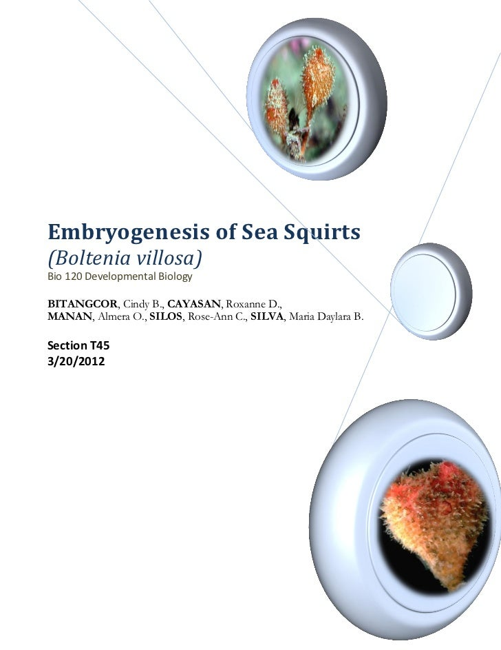 Embryogenesis of Sea Squirt