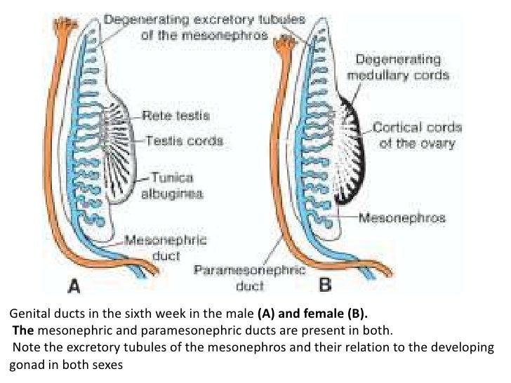 testosterone system