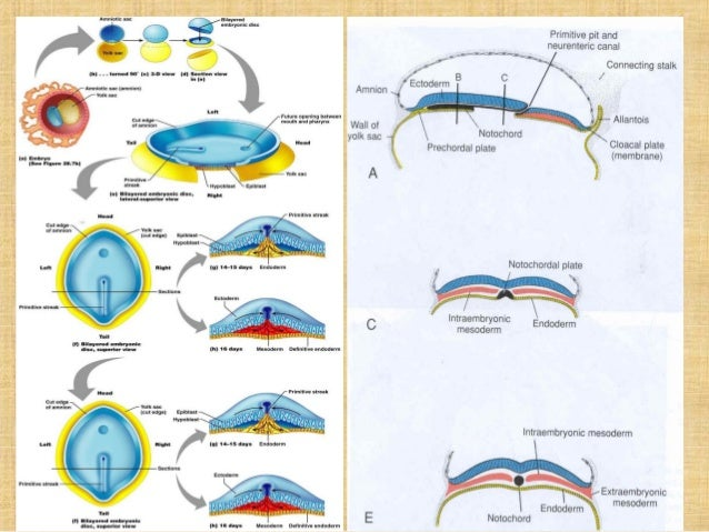 Secondary Neurulation Secondary Neurulation 1