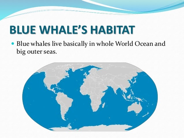 Oceans Whales Live Blue Whales Live Basically