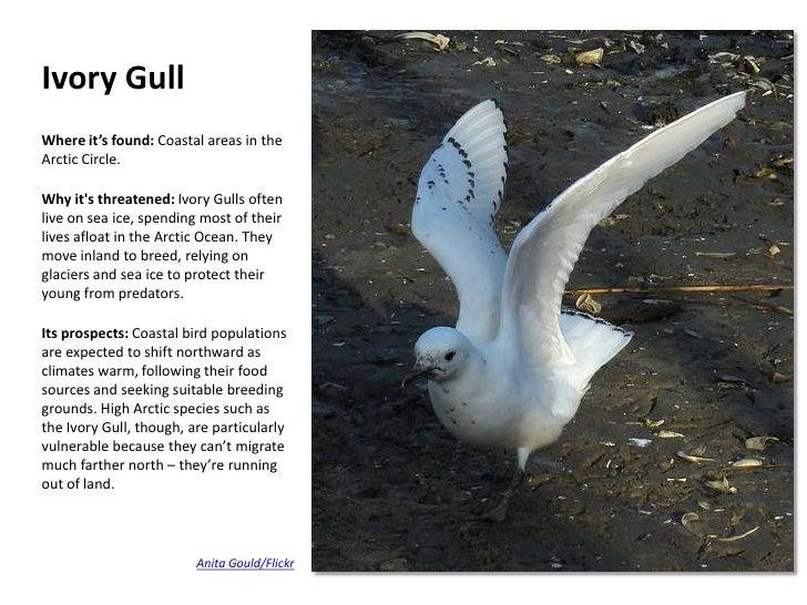 Ivory Gull Endangered Ivory Gull Where It's