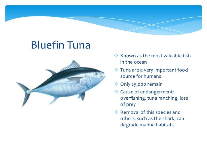 the effect of overfishing bluefin tuna Causing a ripple effect on bluefin tuna are the largest tuna – and japan consumes 80 percent of the bluefin tuna overfishing of bluefin tuna has.