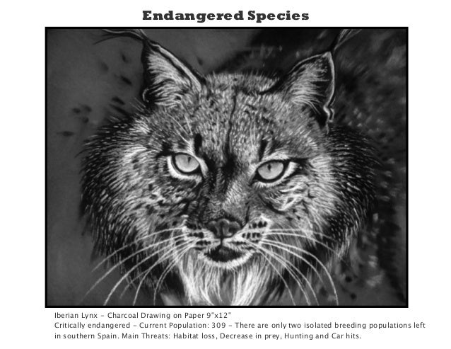 Line Drawings Of Endangered Animals : Iberian lynx drawing