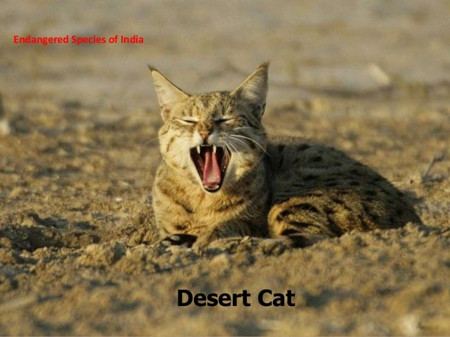 Endangered species of india desert cat 20 endangered species of
