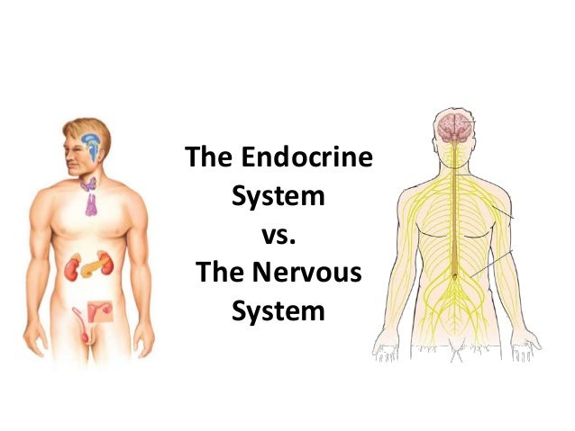 endocrine vs nervous system Endocrine system - endocrine v nervous system 1 the endocrine system vs the nervous system 2 2 network of glands that secrete chemicals called hormones to help your body respond to stimuli.