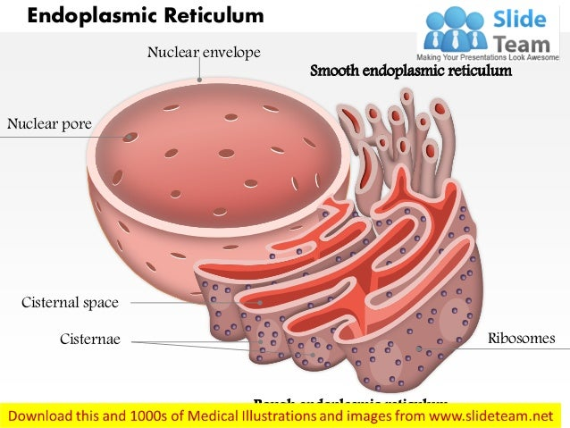 Endoplasmic reticulum medical images for power pointWhat Is Endoplasmic Reticulum