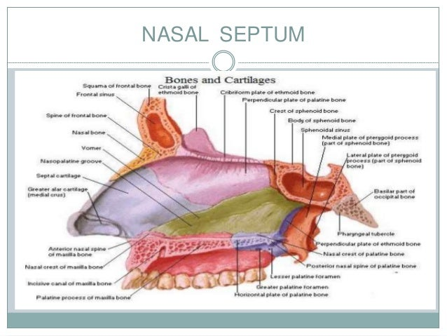 Nasal anatomy pictures