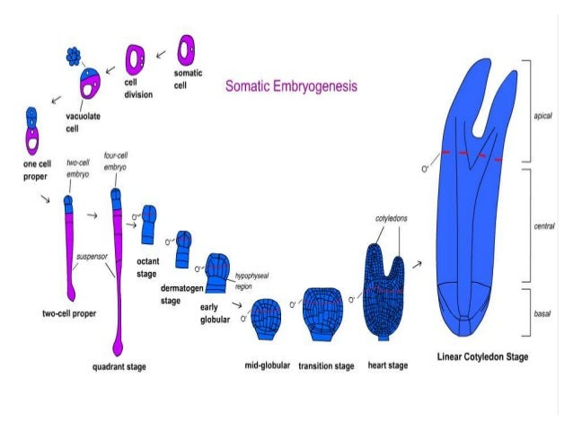 direct and indirect somatic embryogenesis Direct and indirect somatic embryogenesis was observed from  induction of somatic embryos from  direct induction of somatic embryogenesis from immature.