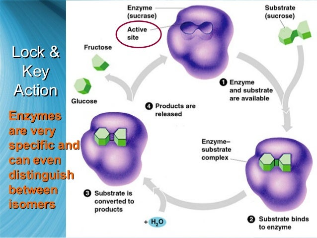 enzymes are biological catalysts ap bio essay View essay - essayenzymes from biology 32000340 at cypress creek high school enzymes are biological catalysts a relate the chemical structure of an enzyme to its specificity and catalytic.