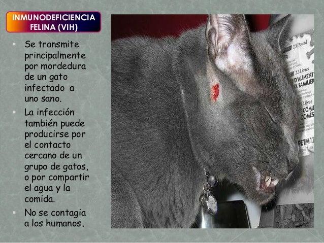 Enfermedades del gato segunda parte for El sida se contagia por saliva