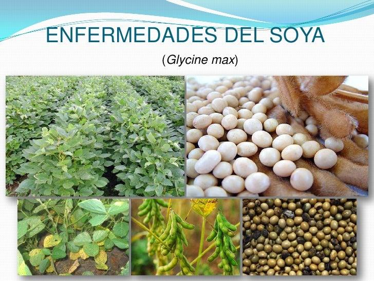 ENFERMEDADES DEL SOYA<br />(Glycine max)<br />