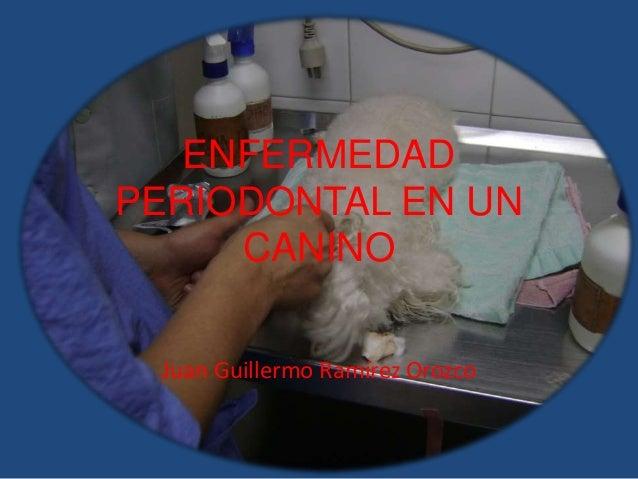 ENFERMEDAD PERIODONTAL EN UN CANINO Juan Guillermo Ramírez Orozco