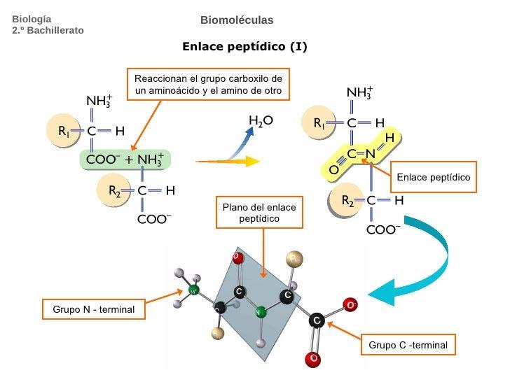 Biomoléculas Enlace peptídico (I) Biología 2.º Bachillerato Reaccionan el grupo carboxilo de un aminoácido y el amino de o...