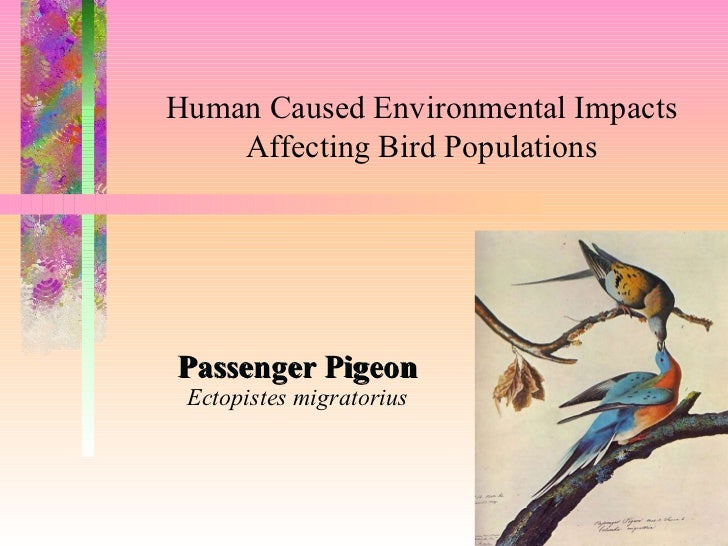Passenger Pigeon Ectopistes migratorius <ul><li>To insert your company logo on this slide </li></ul><ul><li>From the Inser...