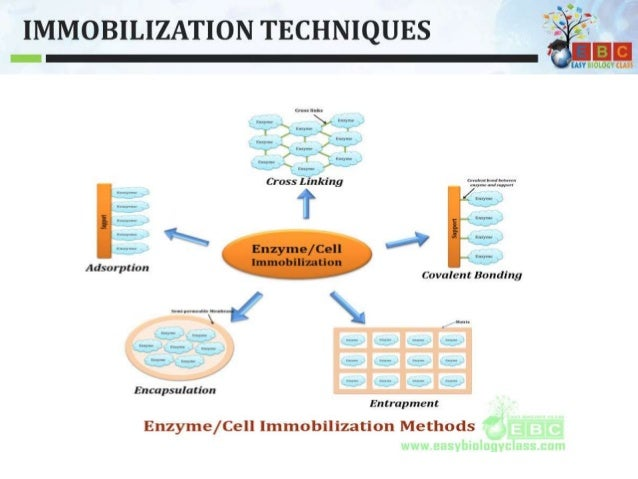 Enzyme and Cell Immobilization Techniques PPT by ...