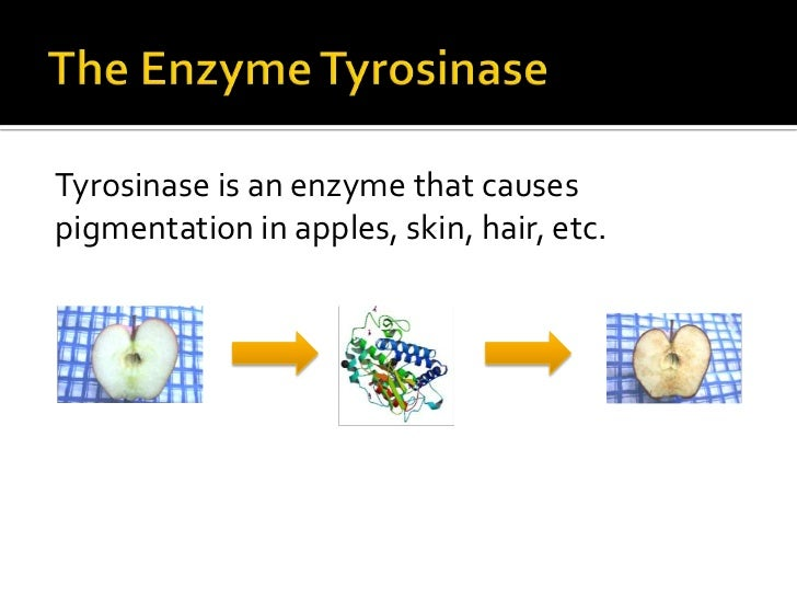 tyrosinase lab Introduction to biological sciences lab, first semester tyrosinase is an enzyme that is found across a broad range of organisms including bacteria, plants, fungi, and animals.