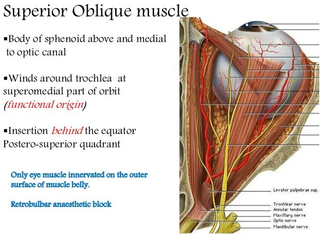 Oblique definition anatomy