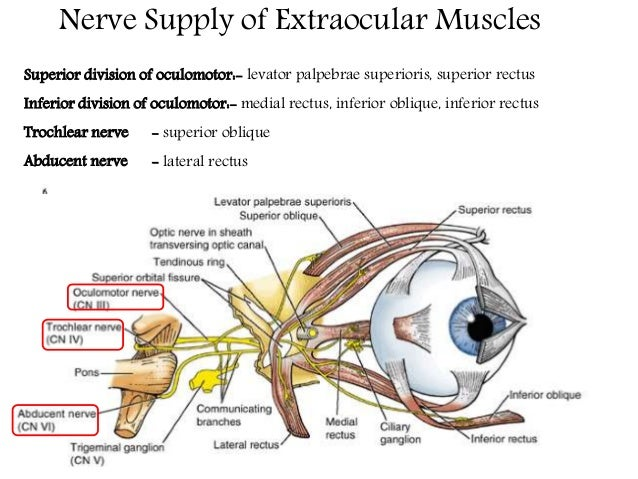 blood supply to the muscles Anatomy exam 1 review - muscles, joints, ligaments back muscles (11) grouping muscle action innervation vasculature spinal cord ischemia - meager blood supply to cord follows minor damage to arterial supply as a result of regional anesthesia.