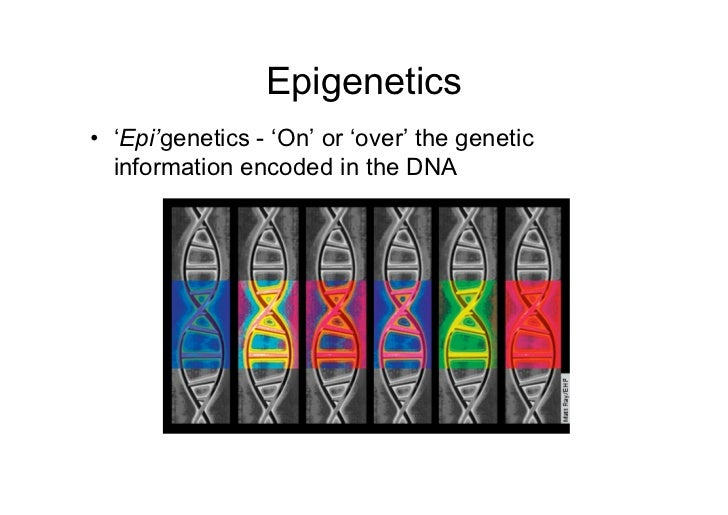 Epigenetics• 'Epi'genetics - 'On' or 'over' the genetic  information encoded in the DNA