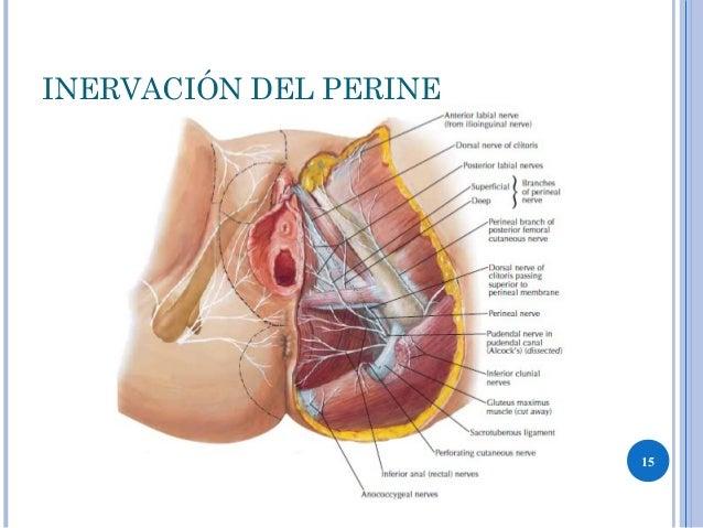 La inervación del perineo del músculo - Los músculos de las paredes ...