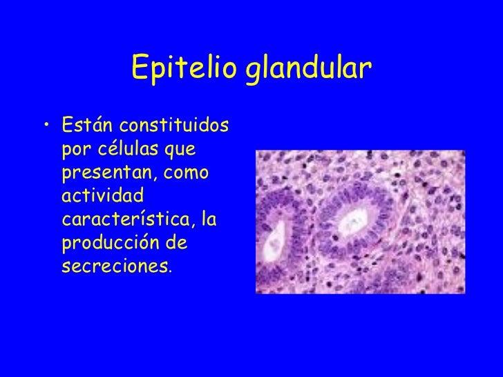 Epitelio   glandular <ul><li>Están constituidos por células que presentan, como actividad característica, la producción de...