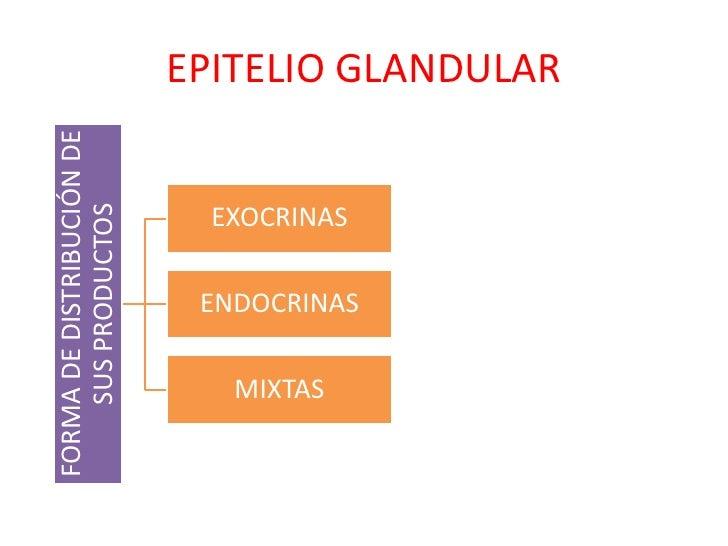 FORMA DE DISTRIBUCIÓN DE   EPITELIO GLANDULAR    SUS PRODUCTOS                             EXOCRINAS                      ...