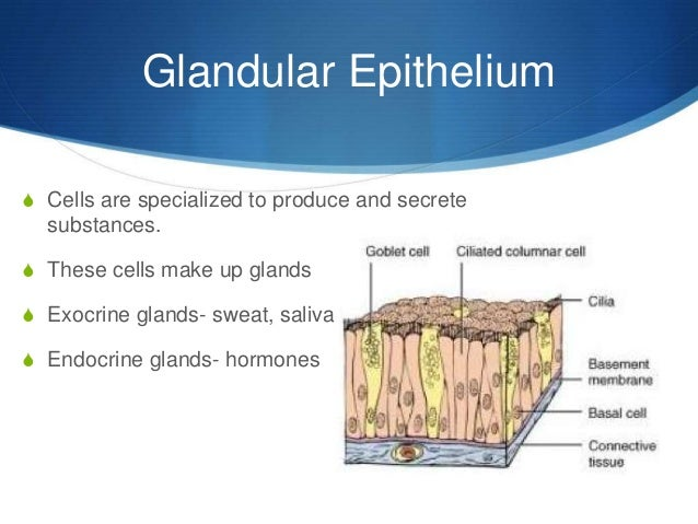 epithelial tissue structure Cells make up all tissues, tissues make up organs, organs make up systems and systems make up organisms cells have different types that make up different.