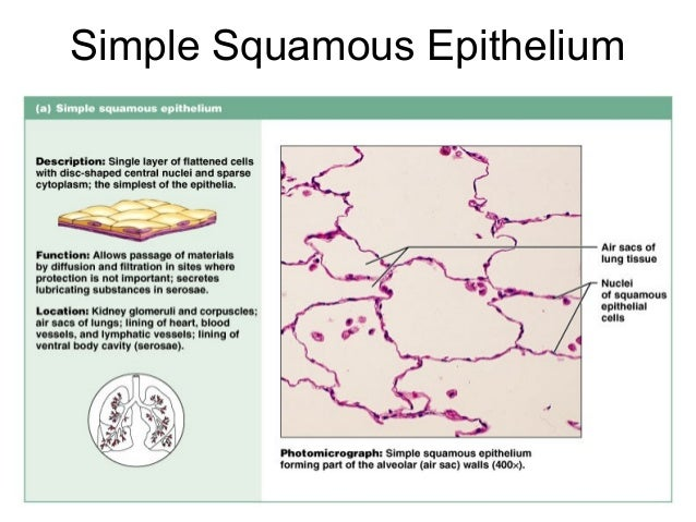 epithelial tissue definition - photo #33