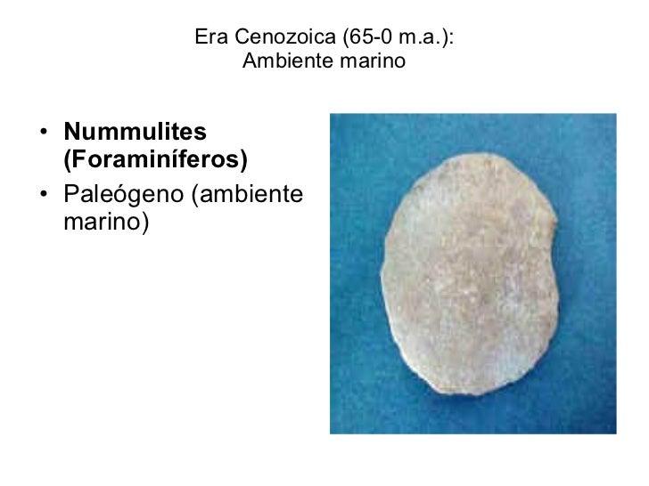 Era Cenozoica (65-0 m.a.): Ambiente marino <ul><li>Nummulites (Foraminíferos) </li></ul><ul><li>Paleógeno (ambiente marino...