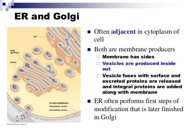 er the golgi body and essay Cell and golgi apparatus essay the endoplasmic reticulum page 7 section f (ribosomes): page 8 section g (golgi body or the golgi apparatus).