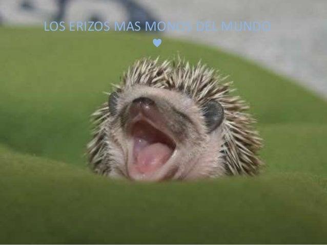 LOS ERIZOS MAS MONOS DEL MUNDO  ♥