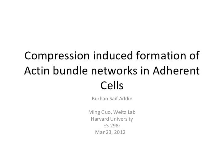 Compression induced formation ofActin bundle networks in Adherent               Cells             Burhan Saif Addin       ...