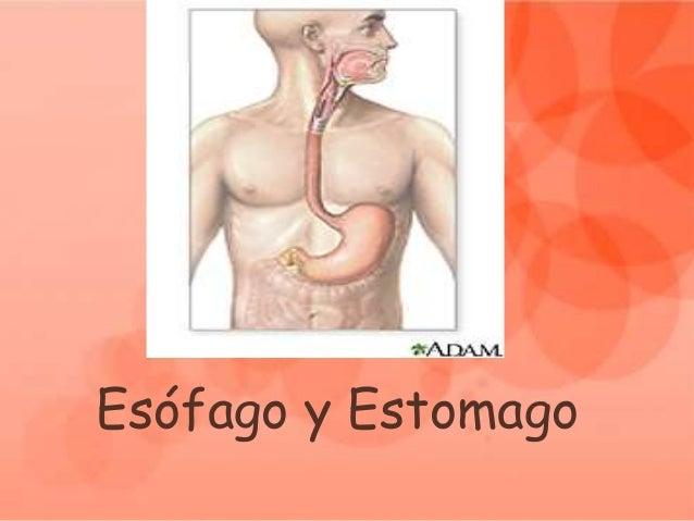 Esófago y Estomago