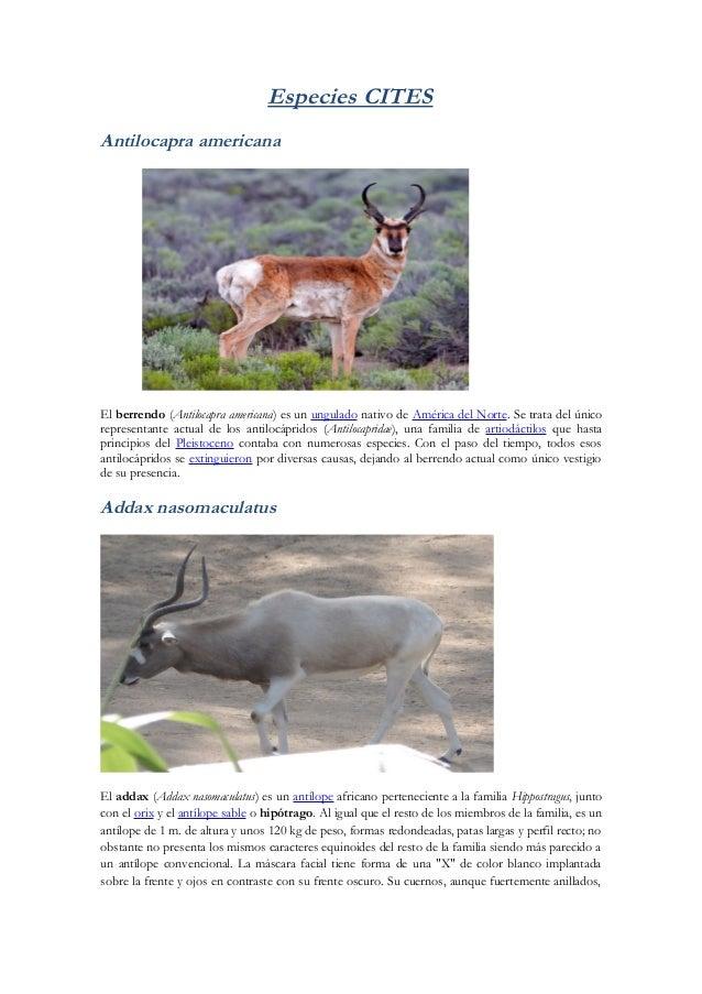 Especies CITESAntilocapra americanaEl berrendo (Antilocapra americana) es un ungulado nativo de América del Norte. Se trat...