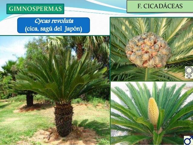 especies ornamentales iv palmeras y cicas