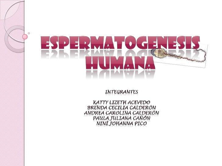 ESPERMATOGENESIS Humana<br />Integrantes<br />katty lizeth Acevedo <br />Brenda Cecilia calderón<br />Andrea carolina cald...