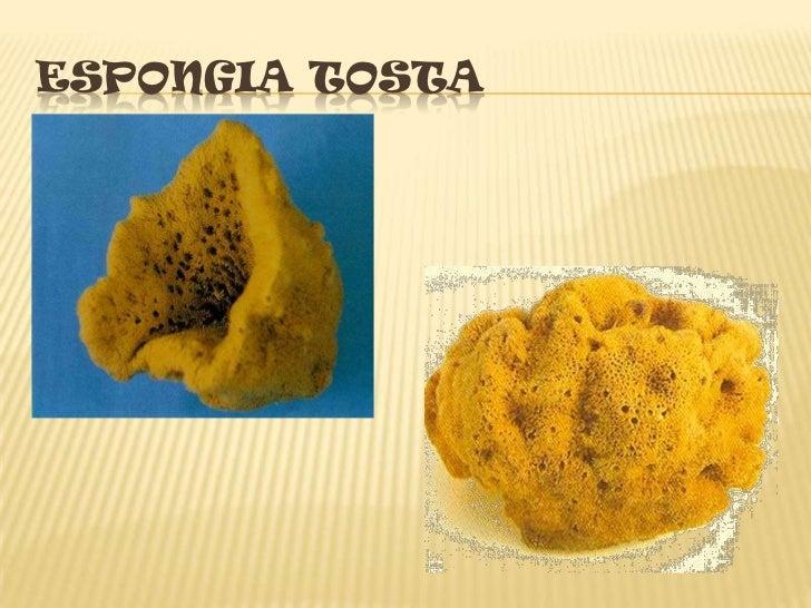 ESPONGIA TOSTA<br />